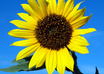 Sunflower.free.jillfound