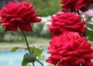 teach you how to plant and care for roses